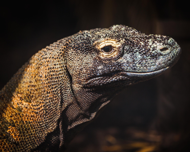 Lizards | Outback Reptiles