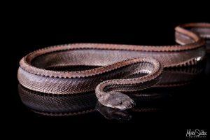 Dragon Snake