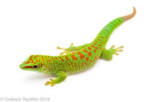 Day geckos and other Reptiles for sale