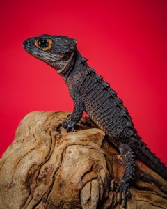 Red Eyed Crocodile Skink