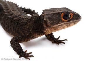 Red Eye Croc Skink