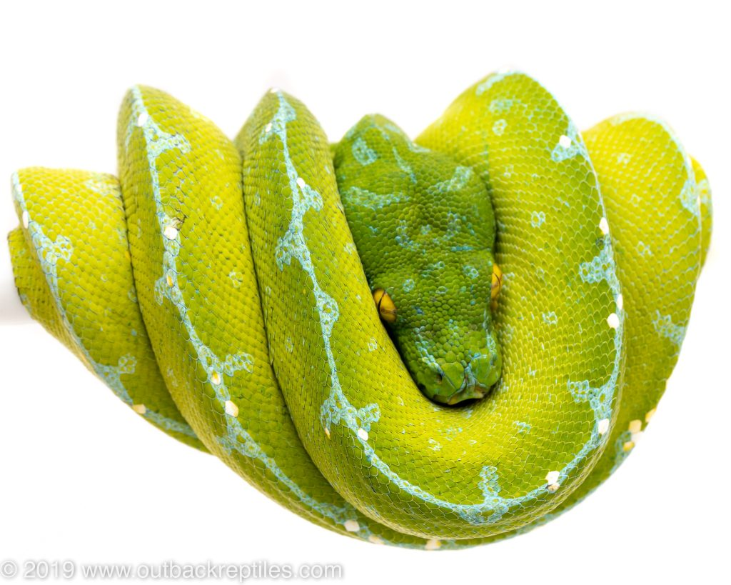 sorong green tree python for sale