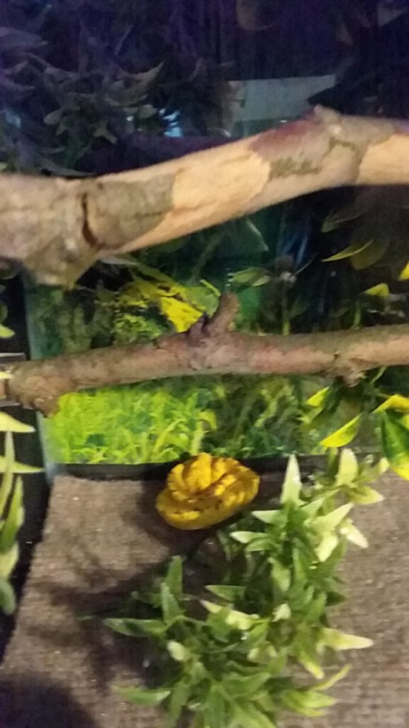 Bad Green Tree Python cage